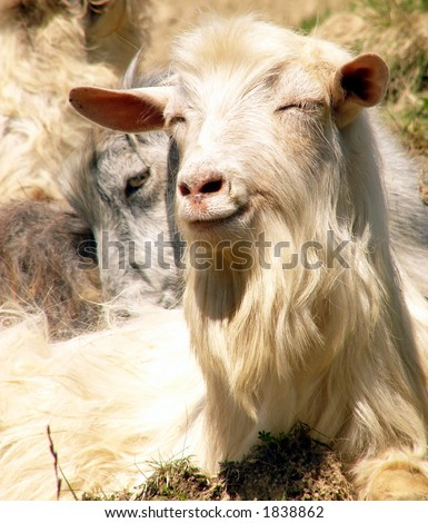 Smiling old goat