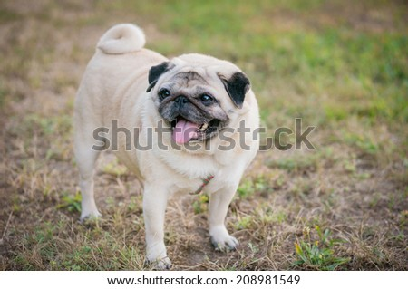 Smiling pug walking in summer park