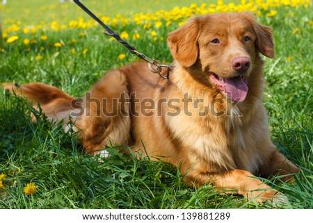Smiling red gun dog breed Nova Scotia Duck Tolling Retriever (Toller)  lying on a green lawn blooming - stock photo