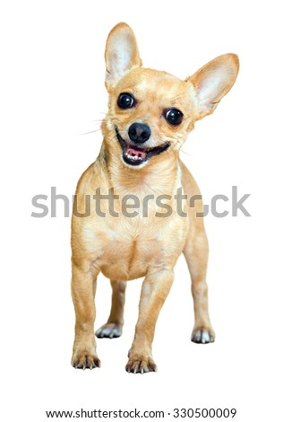 Smiling Russian Toy Terrier. Isolated over white