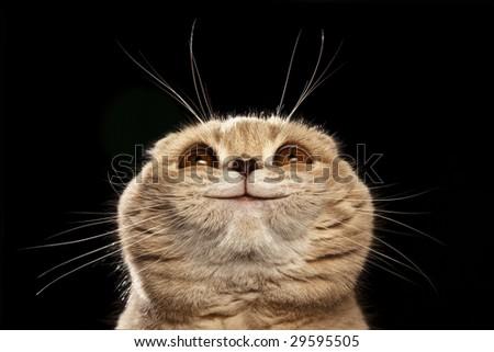 smiling scottish fold cat looks upward - stock photo
