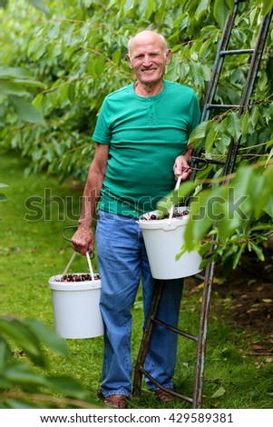 Smiling senior man harvesting ripe sweet cherries in the garden. Healthy elderly person working in the farm on summer day. Happy retirement concept.
