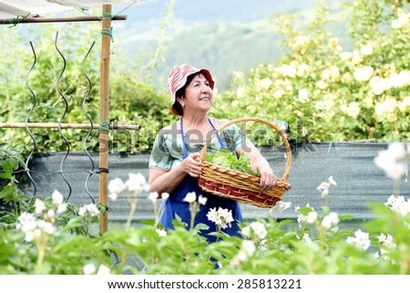Smiling senior woman with hat and apron carrying a basket full of lettuce inside a vegetable garden. - stock photo