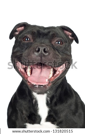 smiling staffordshire bull terrier dog portrait - stock photo