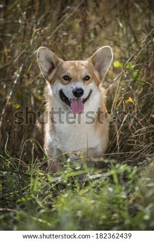 Smiling welsh corgi pembroke against dry grass - stock photo