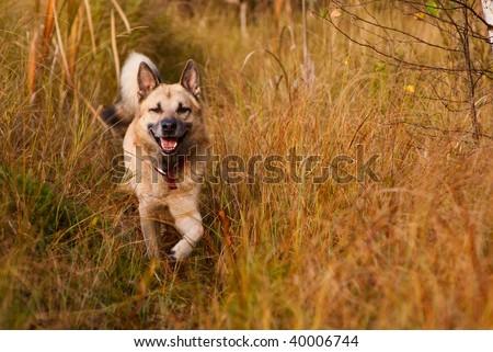 Smiling West Siberian laika (husky) - stock photo