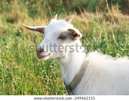 Smiling white goat in the sunny meadow, a portrait  - stock photo