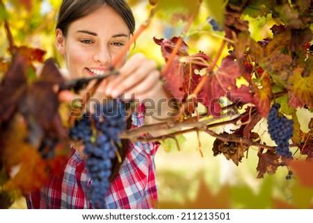 Smiling woman harvesting grapes in autumn vineyard - stock photo