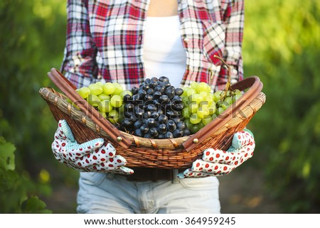 Smiling woman with basket of grapes in the vineyard. Harvest of grapes - stock photo