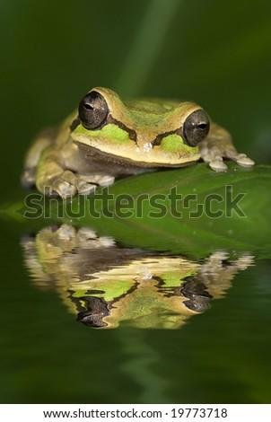 Smilisca phaeota frog from Costa Rica - stock photo
