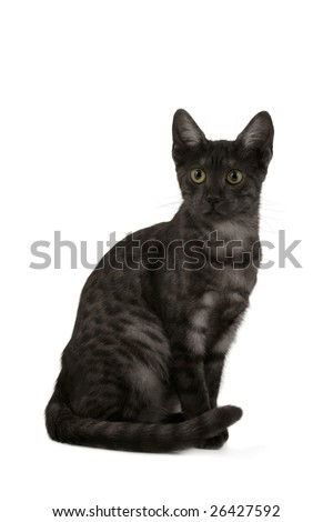 Smoke Egyptian Mau sitting - stock photo