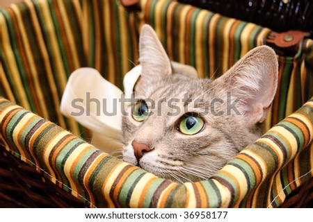 Smoky cat looking curious out of basket - stock photo
