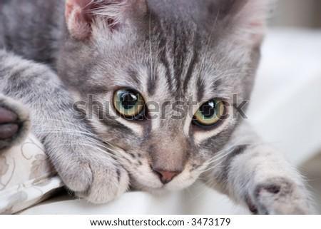 Smoky gray tabby kitten takes time to lay down. Shallow dof - stock photo