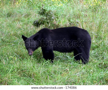 Smoky Mountain Black Bear - stock photo