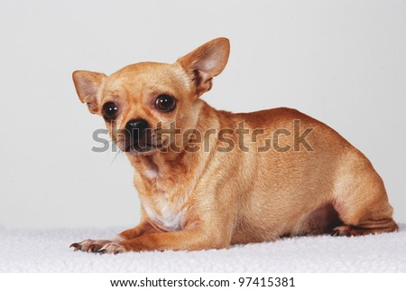 Smooth coat Chihuahua dog lying down, looking scared and frightened. - stock photo