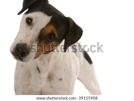 smooth coat tri-color jack russell terrier with cute expression - room for copyspace - stock photo