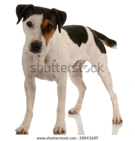 smooth coat tri-colored jack russel terrier standing - stock photo