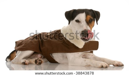 smooth coat tri-colored jack russel terrier wearing dog coat licking lips