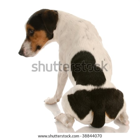 smooth coat tri-colored jack russel terrier with back to viewer and guilty expression - stock photo