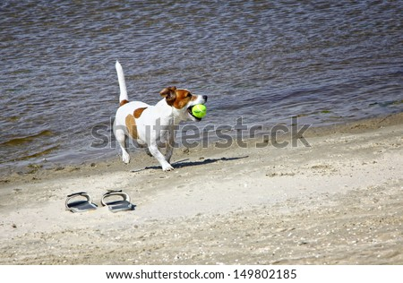 Smooth coated Jack Russell Terrier dog running on the beach - stock photo
