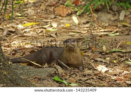 Smooth-Coated Otter (Lutragole Perspicillata). An oriental small-clawed otter / Aonyx cinerea / Asian small-clawed otter - stock photo