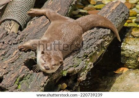 smooth coated otter sleep on the tree - stock photo