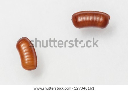 Smooth cockroach - Symploce pallens egg sacks isolated on white - stock photo