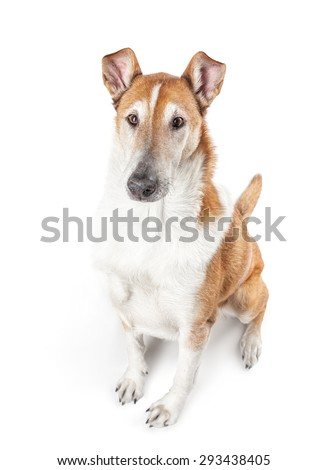 Smooth collie isolated on a white background