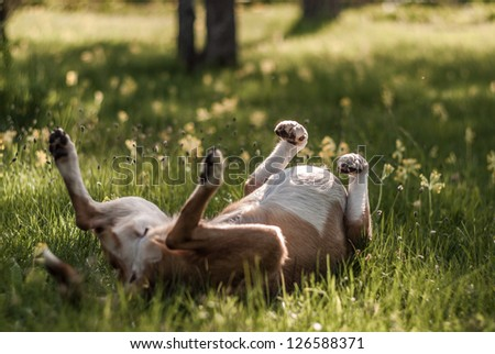 Smooth Collie rolling on the grass - stock photo