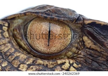 Smooth-fronted caiman (Paleosuchus trigonatus) - stock photo