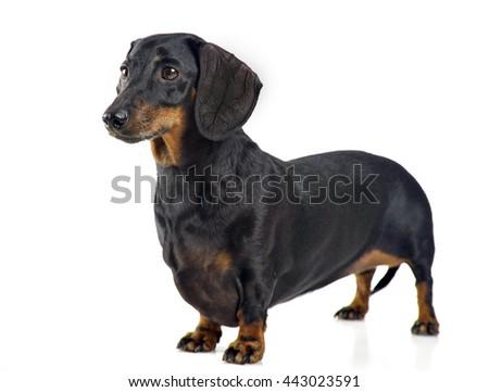 smooth hair dachshund  in white background photo studio - stock photo