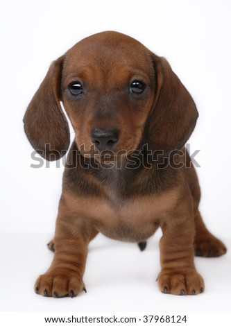 Smooth-haired Dachshund puppy on gray - stock photo