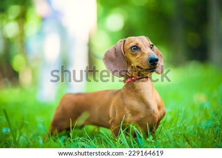 Smooth-haired dachshund standard, color red, female. - stock photo