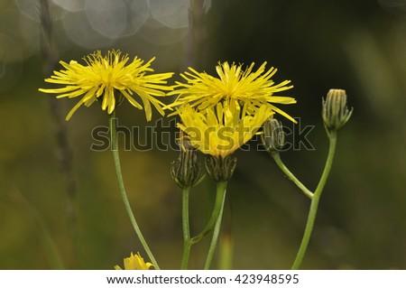 Smooth Hawksbeard - Crepis capillarisGrassland Wild Flower - stock photo