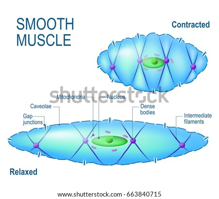 smooth muscle stock images, royalty-free images & vectors, Muscles