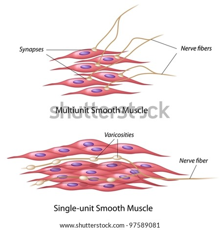 Smooth muscle innervation - stock photo