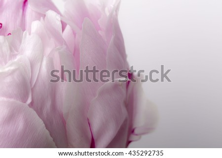 Smooth pink peony petals in bloom close up