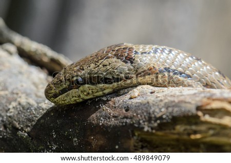 Smooth snake on wood