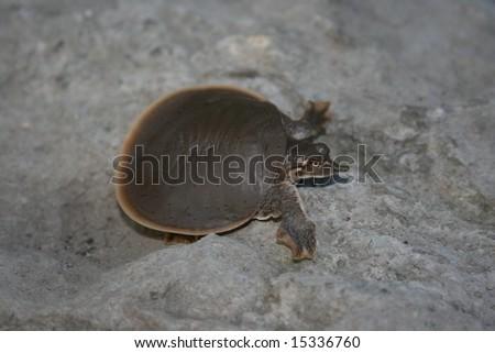 Smooth Softshell Turtle (Apalone mutica) - stock photo