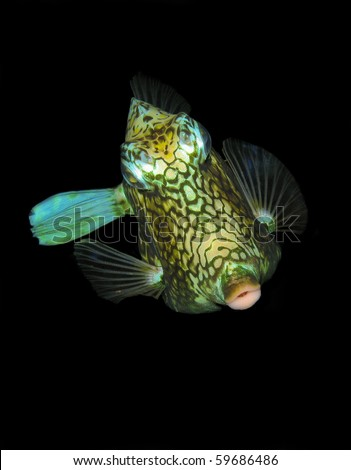 Smooth Trunkfish Lactophrys triqueter at night in Caribbean - stock photo
