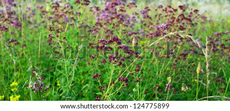 smothered, a thyme a herb branch against a green blossoming meadow - a background - stock photo