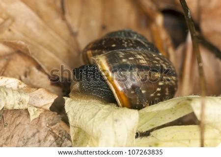 Snail among leaves, macro photo - stock photo