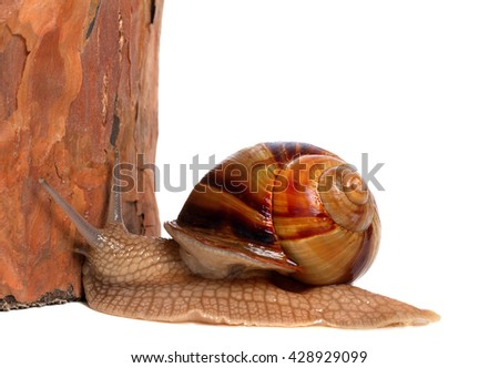 Snail and pine tree, isolated on white background. Close-up view - stock photo