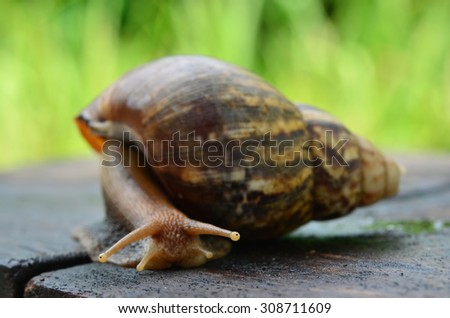 Snail close-up view sliding on the wooden plate (Selective focus)