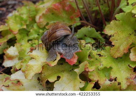 Snail crawling on green leaves. Helix pomatia (common names the Burgundy snail, Roman snail, edible snail or escargot) is a species of large, edible, air-breathing land snail. - stock photo