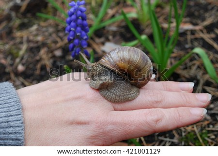 Snail crawling on hand. Helix pomatia (common names the Burgundy snail, Roman snail, edible snail or escargot) is a species of large, edible, air-breathing land snail.  - stock photo