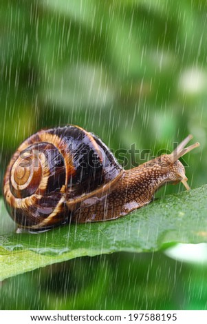 Snail crawling on leaf with rain and green background  - stock photo
