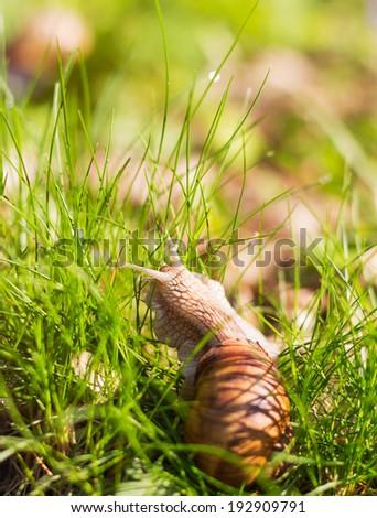 Snail crawling through grass - selective focus - stock photo