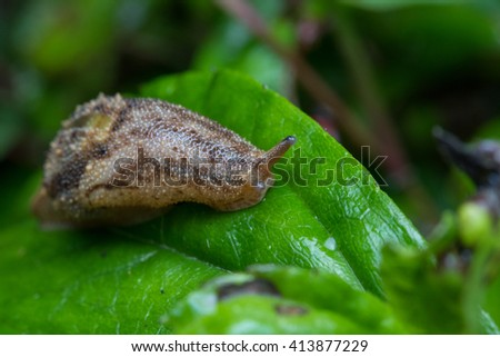 Snail creeps on green leaf. , Brown Snail ,  Snail , Close-Up Snail - stock photo