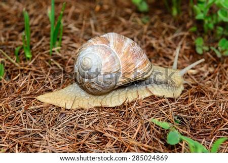 Snail - Helix pomatia - stock photo